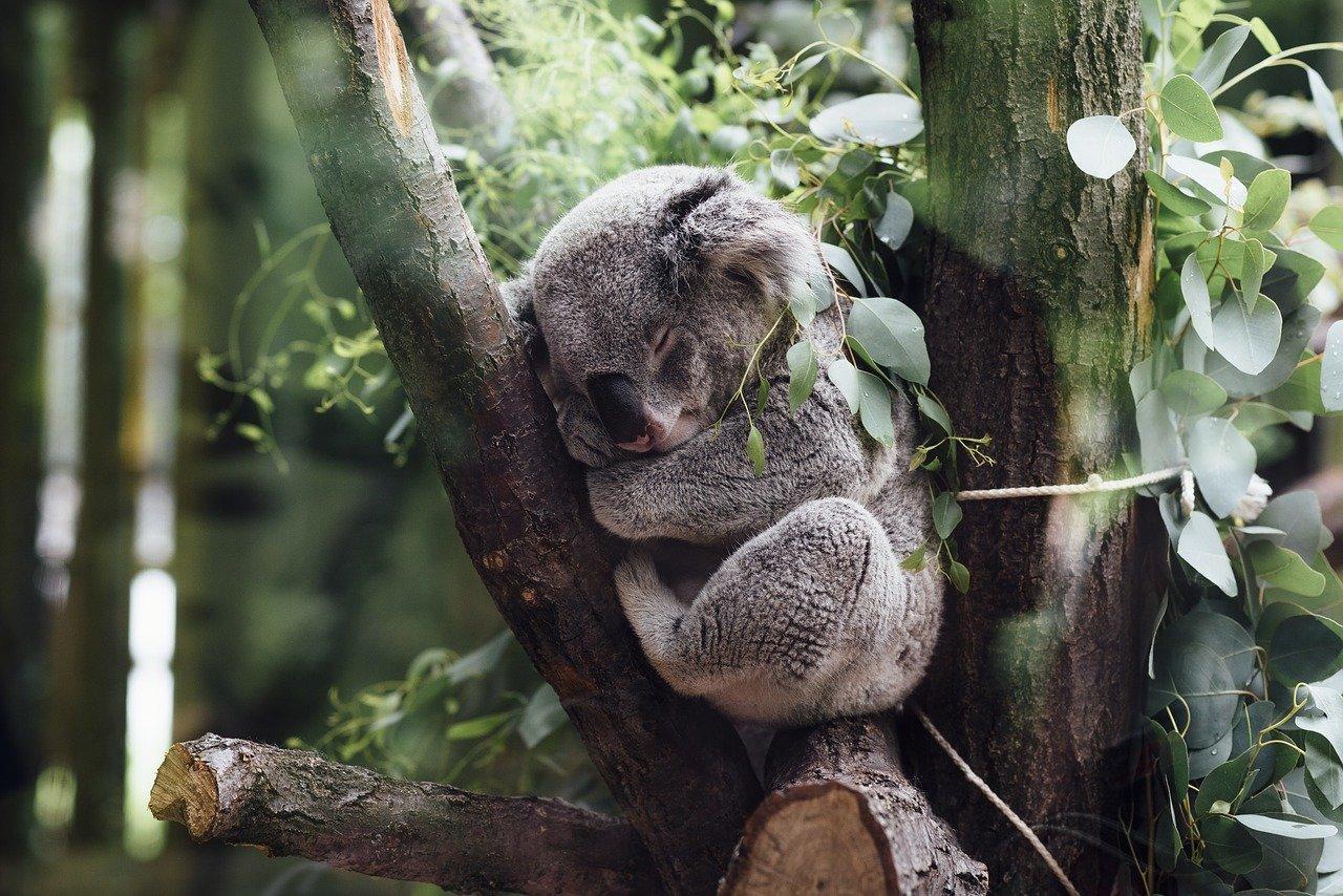 Koalas de peluche para ayudar a Australia – Laura Tejerina